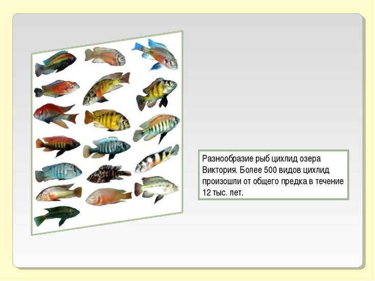 Разнообразие рыб цихлид озера Виктория. Более 500 видов цихлид произошли от о...