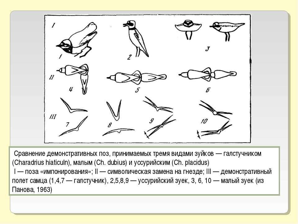 Сравнение демонстративных поз, принимаемых тремя видами зуйков — галстучником...