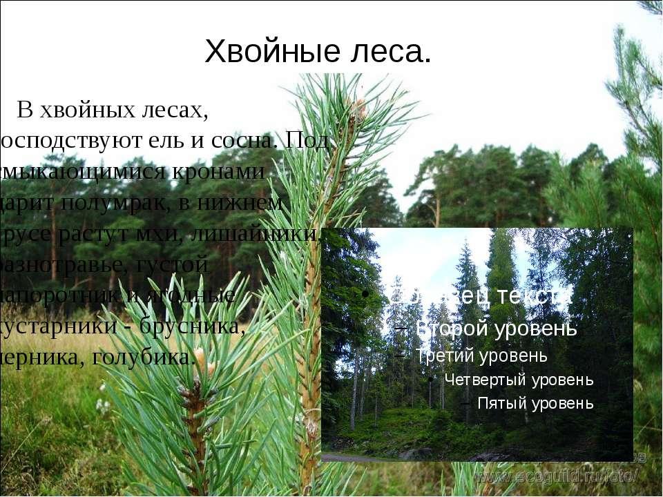 Хвойные леса. В хвойных лесах, господствуют ель и сосна. Под смыкающимися кро...