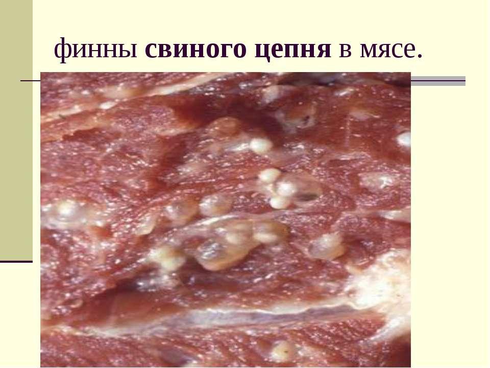 финнысвиногоцепняв мясе.