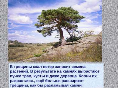 В трещины скал ветер заносит семена растений. В результате на камнях вырастаю...