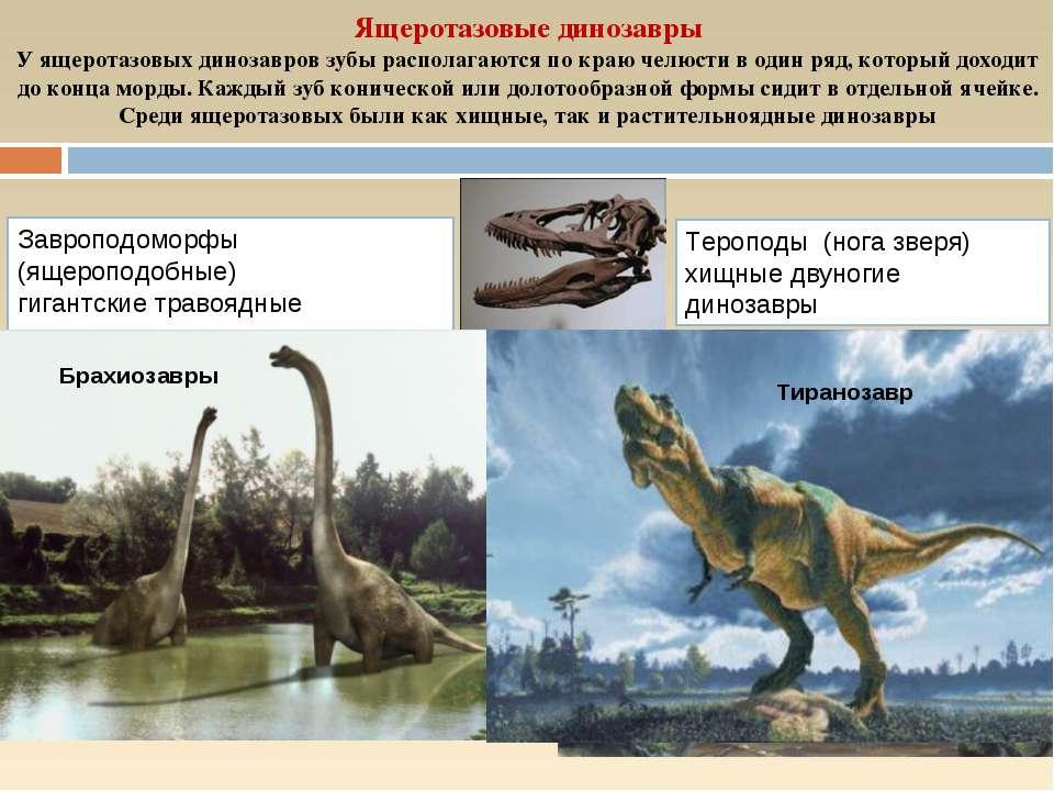 Ящеротазовые динозавры У ящеротазовых динозавров зубы располагаются по краю ч...