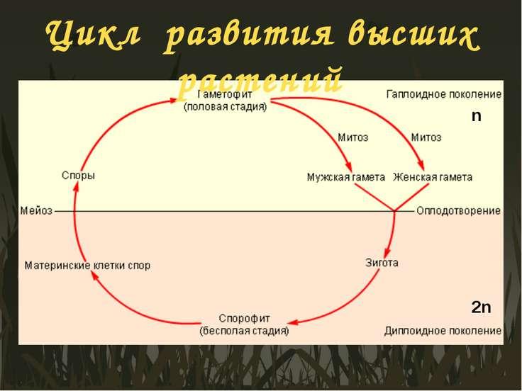 Цикл развития высших растений n 2n