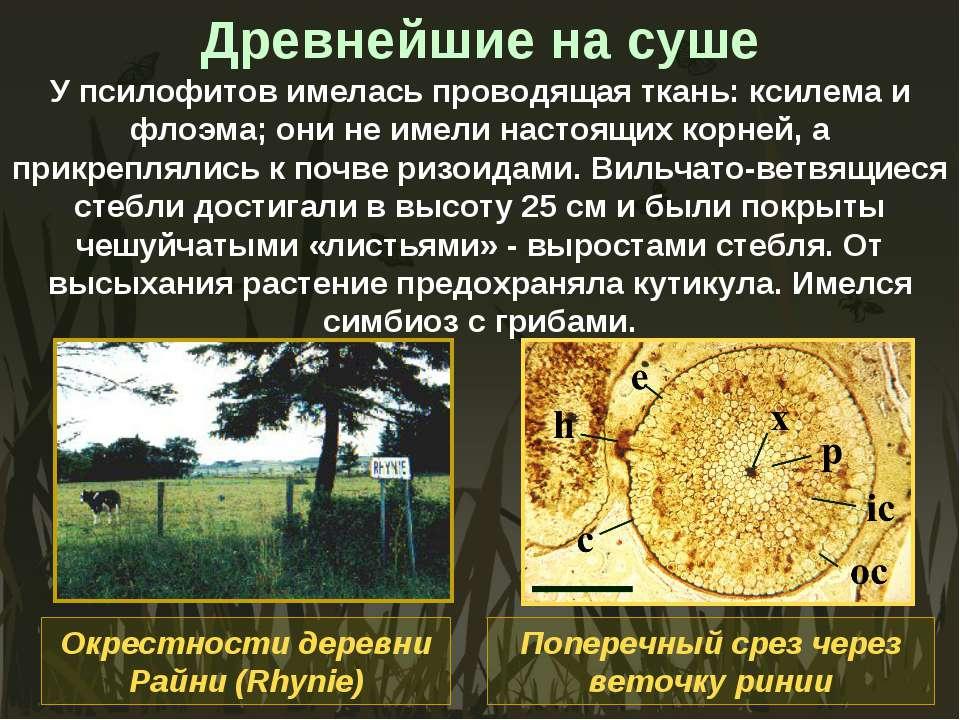 Древнейшие на суше У псилофитов имелась проводящая ткань: ксилема и флоэма; о...