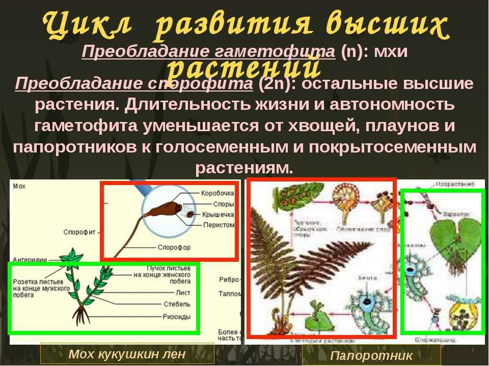 Цикл развития высших растений Преобладание гаметофита (n): мхи Преобладание с...