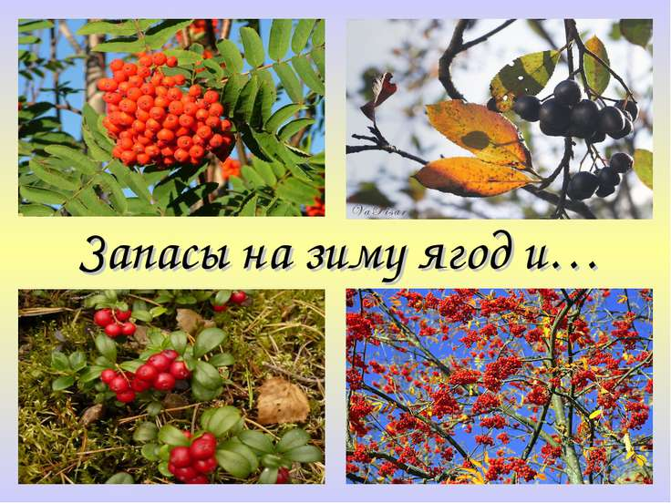 Запасы на зиму ягод и…