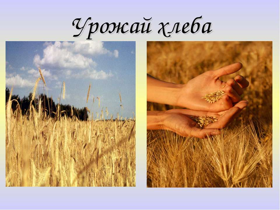 Урожай хлеба