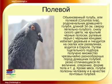 Полевой Обыкновенный голубь, или полевой (Columba livia), родоначальник домаш...