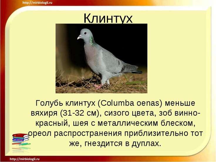 Клинтух Голубь клинтух (Columba oenas) меньше вяхиря (31-32 см), сизого цвета...