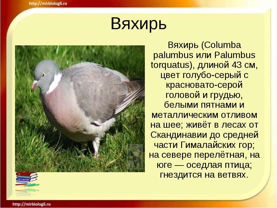 Вяхирь Вяхирь (Columba palumbus или Palumbus torquatus), длиной 43 см, цвет г...