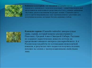 Конопля культурная, или посевная (Cannadis sativa) – в переводе с латинского ...