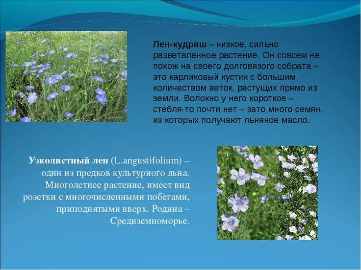 Узколистный лен (L.angustifolium) – один из предков культурного льна. Многоле...