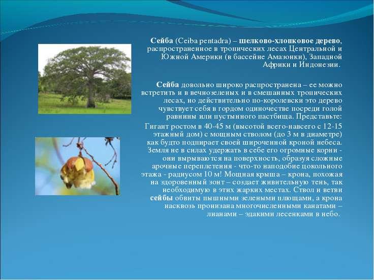 Сейба (Ceiba pentadra) – шелково-хлопковое дерево, распространенное в тропиче...