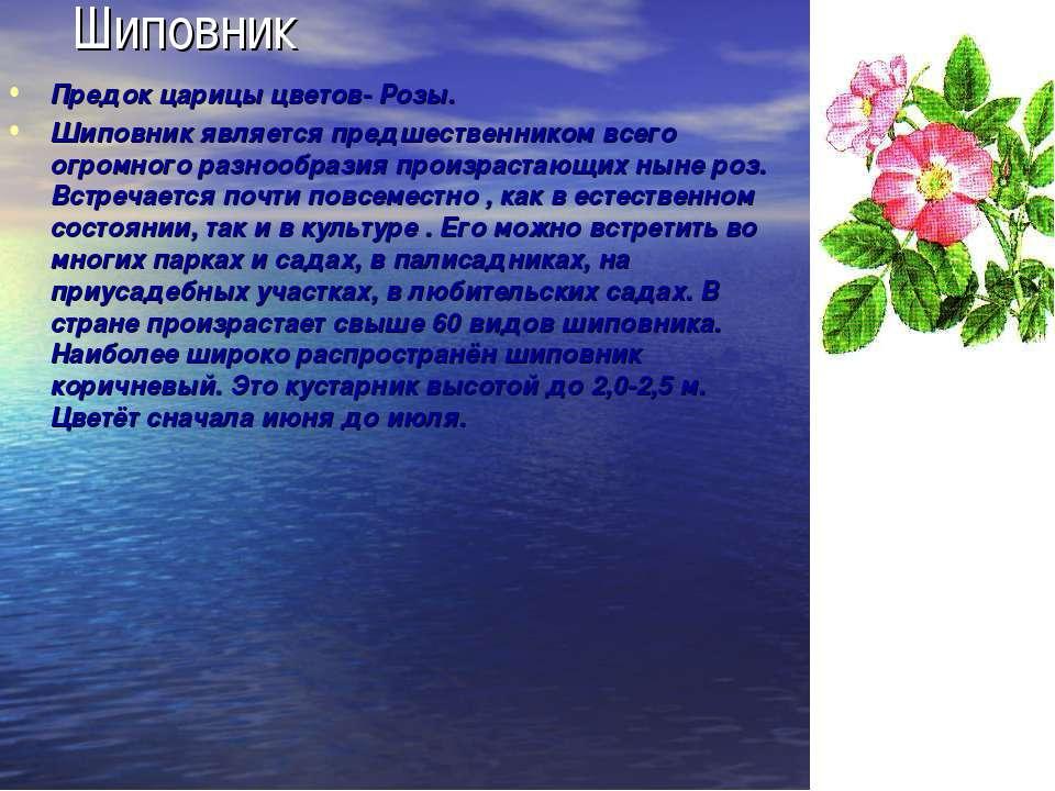 Шиповник Предок царицы цветов- Розы. Шиповник является предшественником всего...