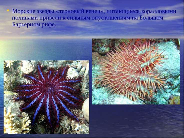 Морские звезды «терновый венец», питающиеся коралловыми полипами привели к си...