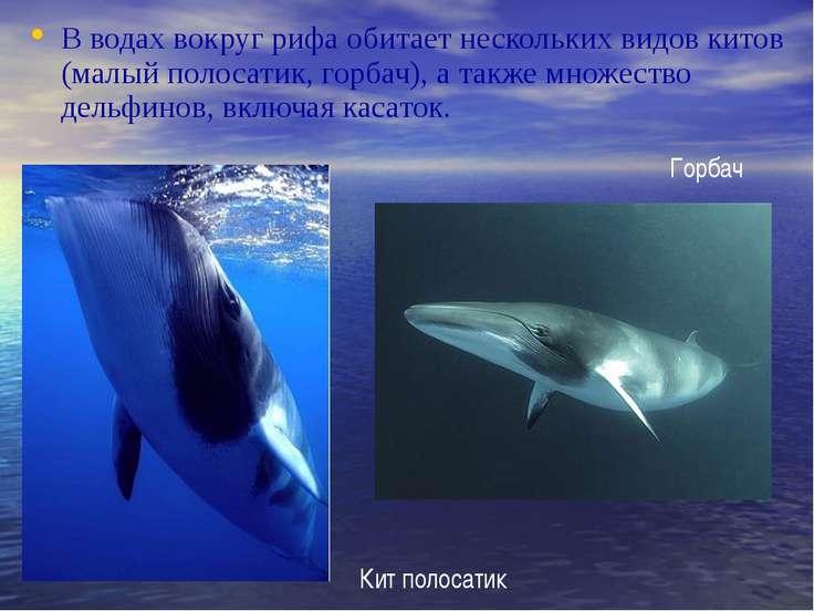 В водах вокруг рифа обитает нескольких видов китов (малый полосатик, горбач),...