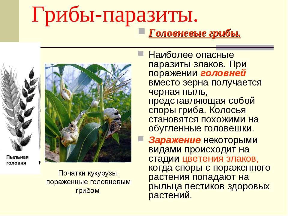 Грибы-паразиты. Головневые грибы. Наиболее опасные паразиты злаков. При пораж...