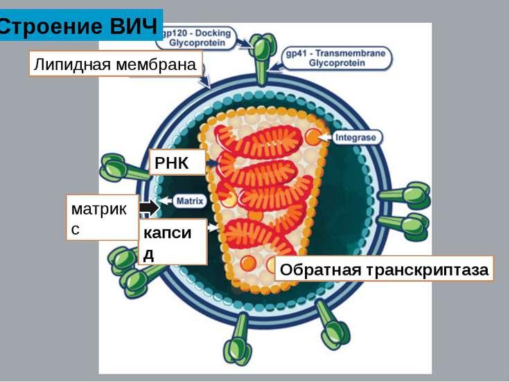 РНК Обратная транскриптаза капсид Липидная мембрана матрикс Строение ВИЧ
