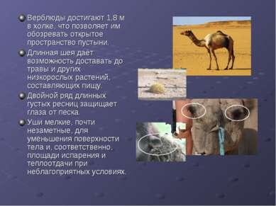 Верблюды достигают 1,8 м в холке, что позволяет им обозревать открытое простр...