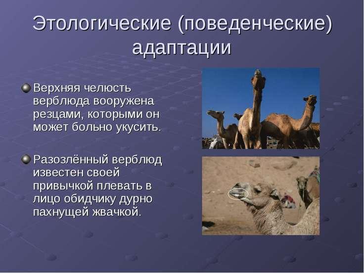 Этологические (поведенческие) адаптации Верхняя челюсть верблюда вооружена ре...