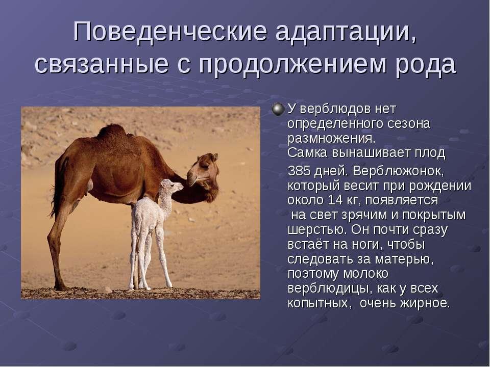Поведенческие адаптации, связанные с продолжением рода У верблюдов нет опреде...