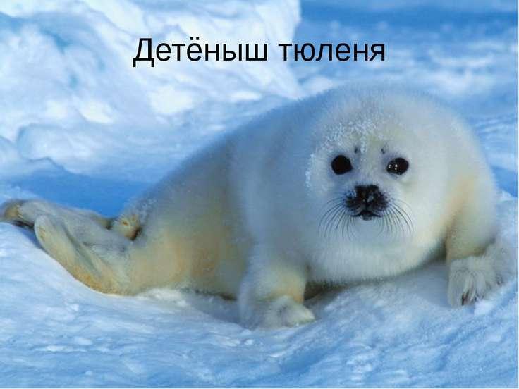 Детёныш тюленя