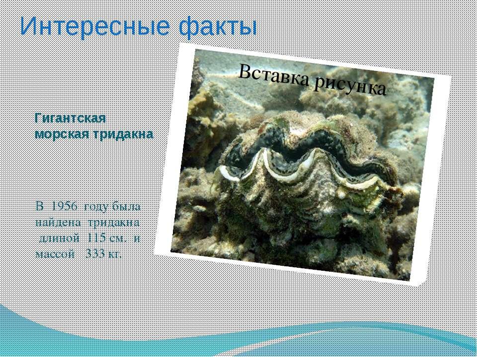 Гигантская морская тридакна В 1956 году была найдена тридакна длиной 115 см. ...