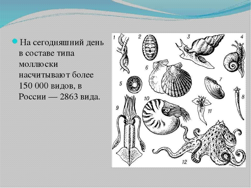 На сегодняшний день в составе типа моллюски насчитывают более 150000 видов, ...