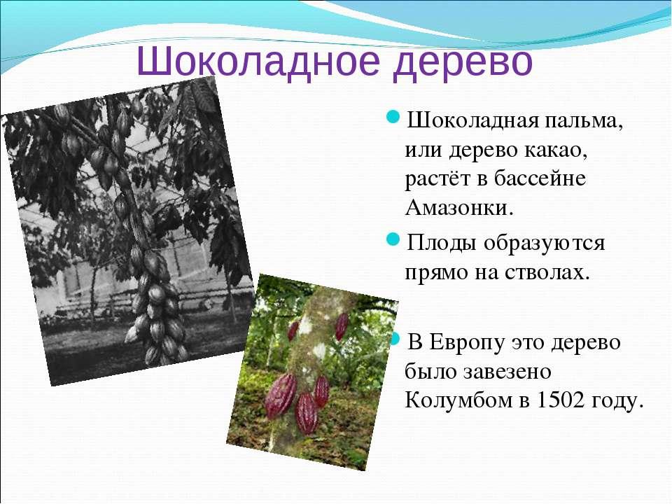 Шоколадное дерево Шоколадная пальма, или дерево какао, растёт в бассейне Амаз...