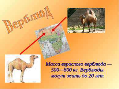 Масса взрослого верблюда — 500—800 кг. Верблюды могут жить до 20 лет