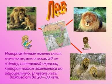 Новорожденные львята очень маленькие, всего около 30 см в длину, пятнистой ок...