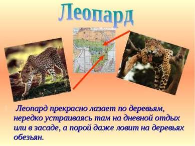 Леопард прекрасно лазает по деревьям, нередко устраиваясь там на дневной отды...