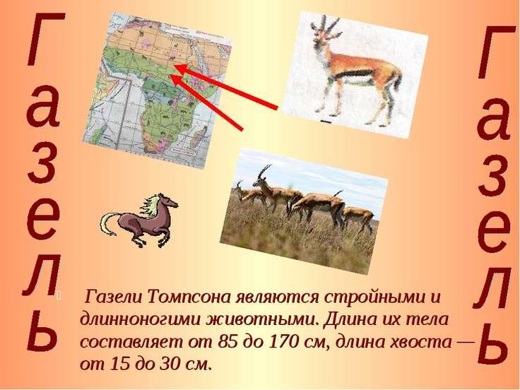 Газели Томпсона являются стройными и длинноногими животными. Длина их тела со...