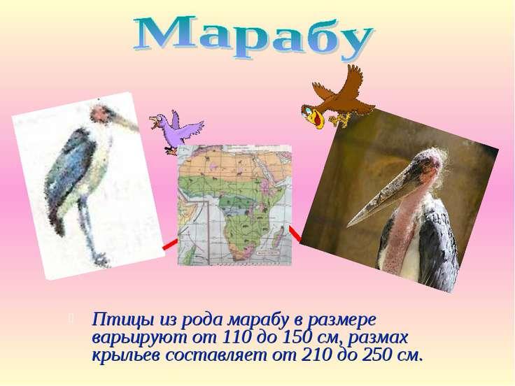 Птицы из рода марабу в размере варьируют от 110 до 150 см, размах крыльев сос...