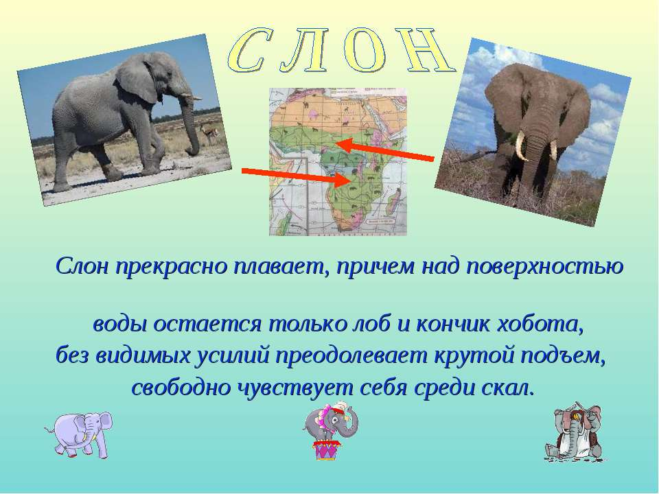 Слон прекрасно плавает, причем над поверхностью воды остается только лоб и ко...