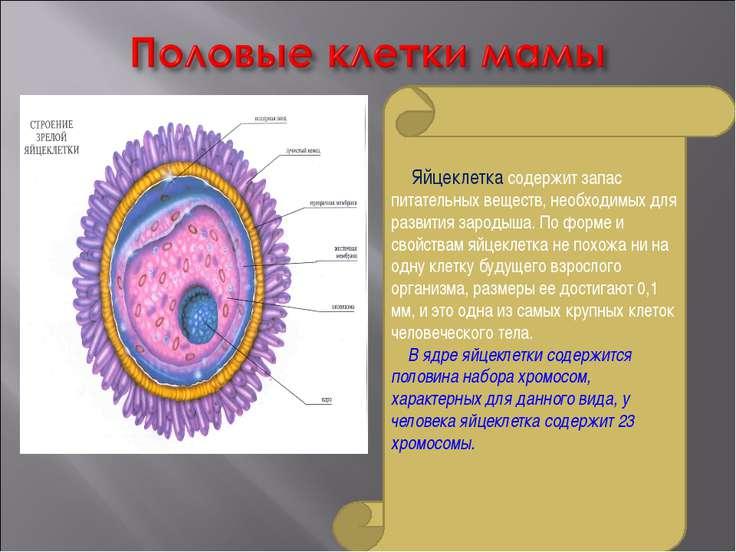 Яйцеклетка содержит запас питательных веществ, необходимых для развития зарод...