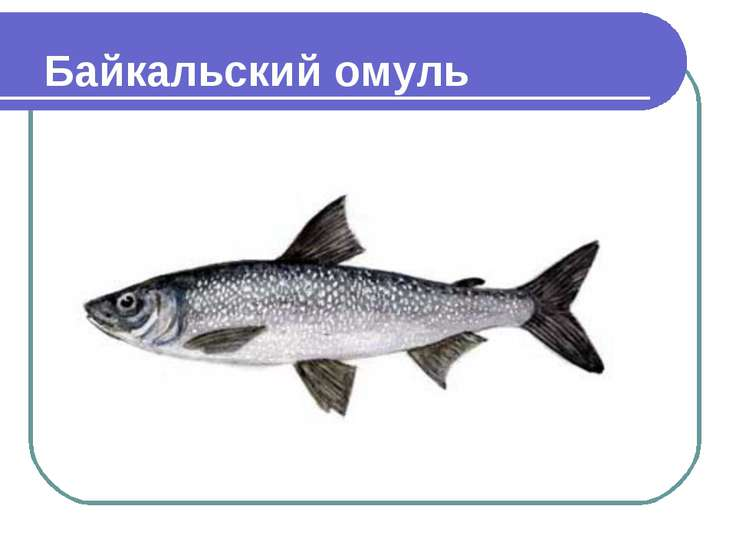 Байкальский омуль Coregonus autumnalis migratorius