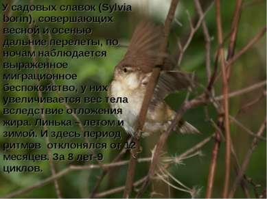 У садовых славок (Sylvia borin), совершающих весной и осенью дальние перелеты...