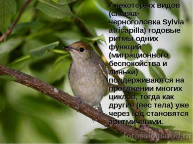 У некоторых видов (славка-черноголовка Sylvia atricapilla) годовые ритмы одни...