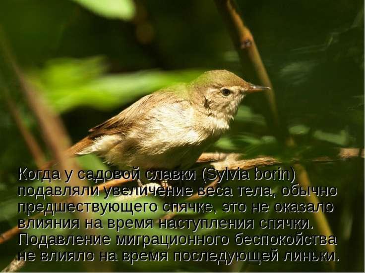 Когда у садовой славки (Sylvia borin) подавляли увеличение веса тела, обычно ...