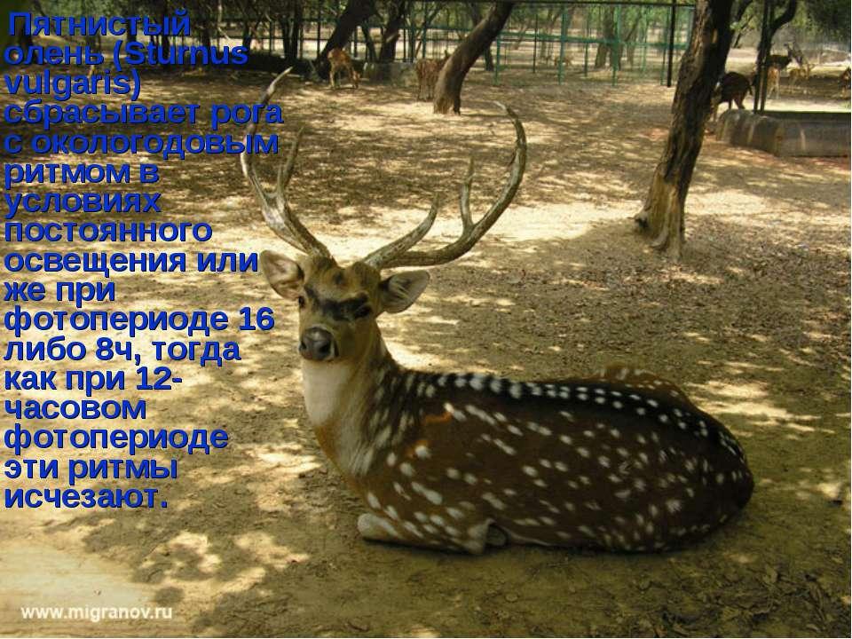 Пятнистый олень (Sturnus vulgaris) сбрасывает рога с окологодовым ритмом в ус...