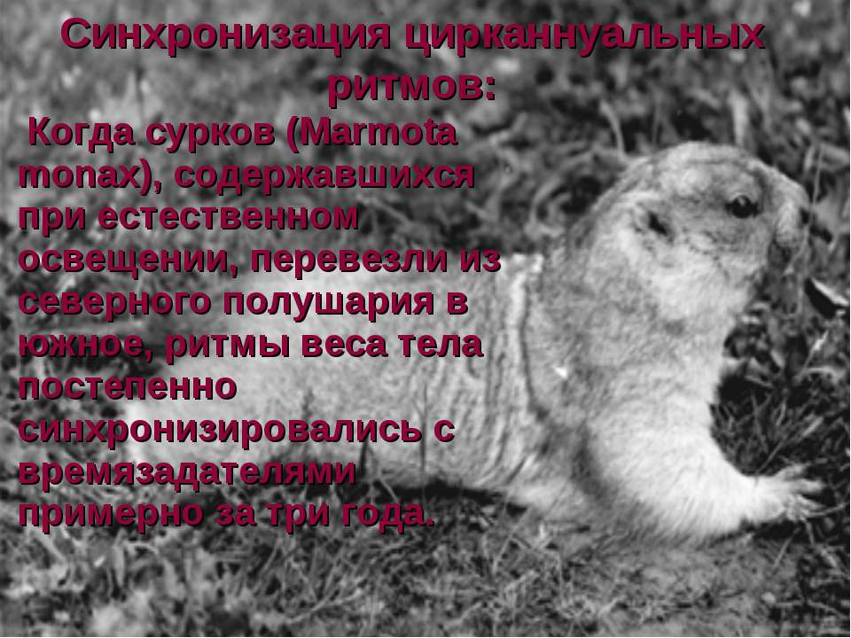 Синхронизация цирканнуальных ритмов: Когда сурков (Marmota monax), содержавши...