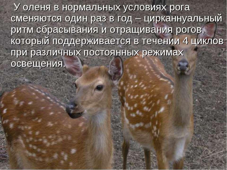 У оленя в нормальных условиях рога сменяются один раз в год – цирканнуальный ...