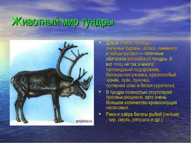 Животный мир тундры Дикие олени, лисицы, снежные бараны, волки, лемминги и за...