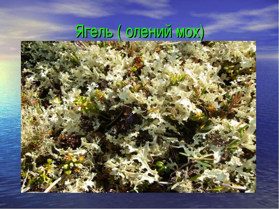 Ягель ( олений мох)