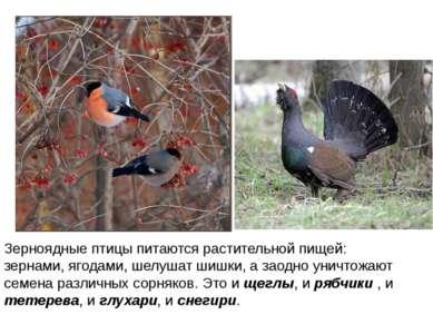 Зерноядные птицы питаются растительной пищей: зернами, ягодами, шелушат шишки...