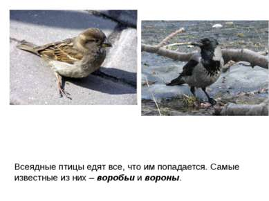 Всеядные птицы едят все, что им попадается. Самые известные из них – воробьи ...
