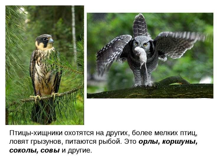 Птицы-хищники охотятся на других, более мелких птиц, ловят грызунов, питаются...