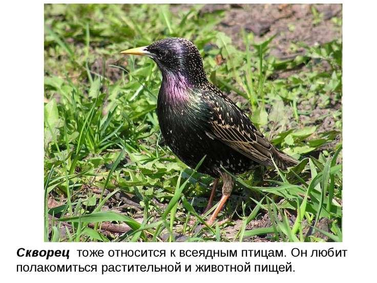 Скворец тоже относится к всеядным птицам. Он любит полакомиться растительной ...