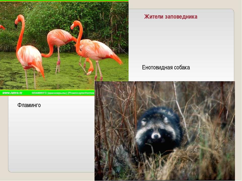 Жители заповедника Енотовидная собака Фламинго